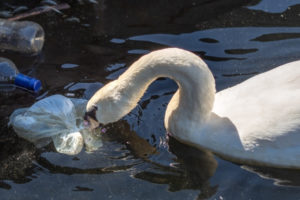 Swan picking trash out of river